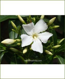 Kaner Single (Nerium Oleander)