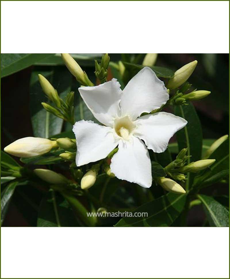 Kaner Single (Nerium Oleander)