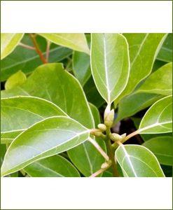 Kapur-(Cinnamomum-Camphora)_Mashrita_Nature_Cloud