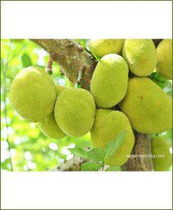 Kathal-Jack-fruit-Red_Mashrita_Nature_Cloud