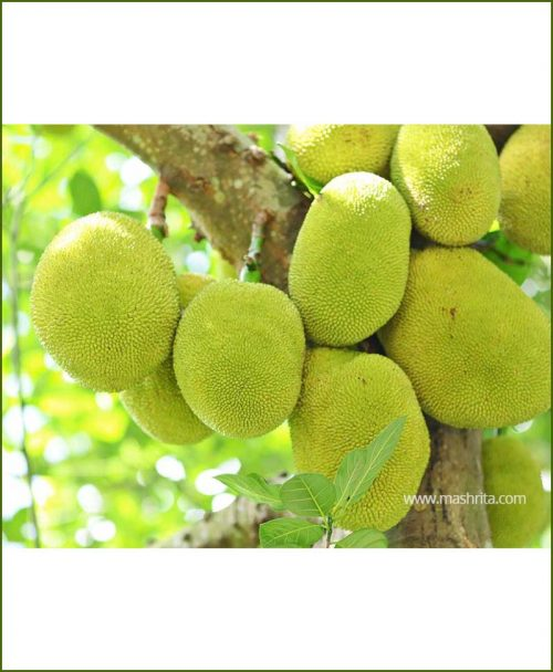 Kathal-Jack-fruit-Red_Mashrita_Nature_Cloud