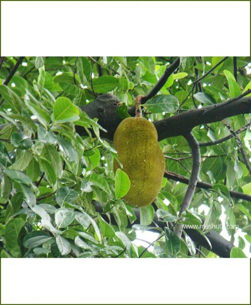 Kathal-Jackfruit-(Artocarpus-Heterophyllus)_Mashrita_Nature_Cloud