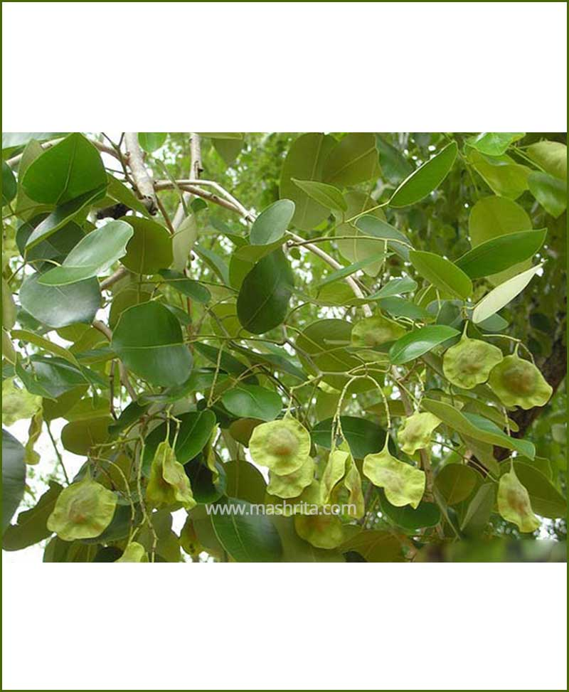 Lal Chandan - Red Sandal Wood (Pterocarpus Santalinus)
