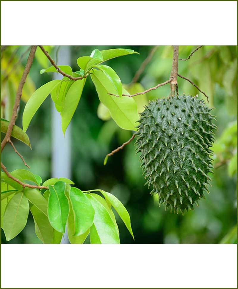 Laxman-Phal (Soursop-Graviola) Top 50 Medicinal Plants for Garden