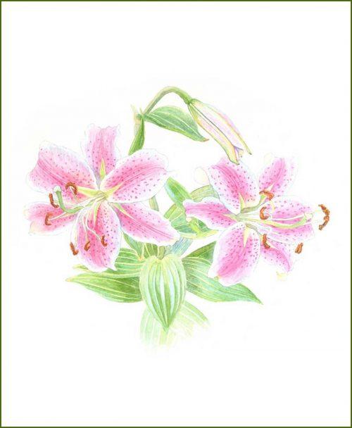 Lilies Flower Plants