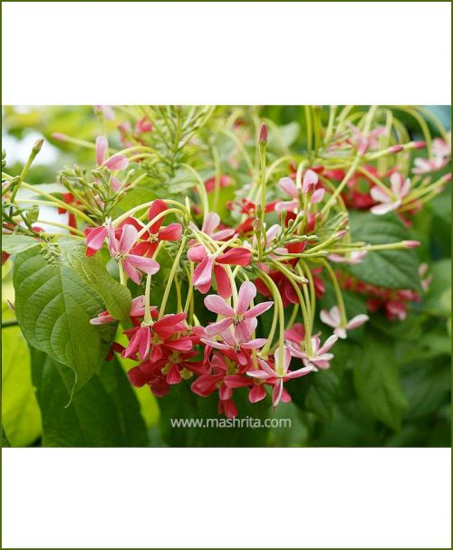 Madhumalti Dwarf ( Honeysuckle, Rangoon Creeper)