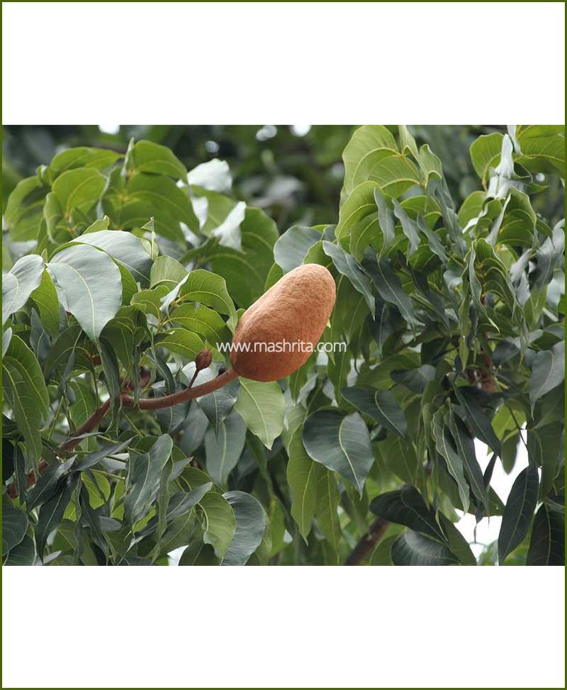 ©MNCMahogany Indian-Mahogany-(Swietenia-Mahagoni)