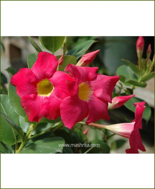 Mandevilla (Red)