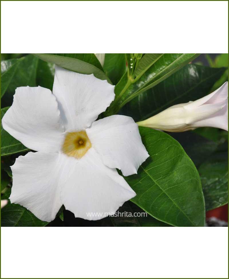 Mandevilla (White)