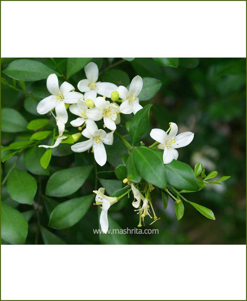 Murraya Paniculata (Calcutta Kamini)
