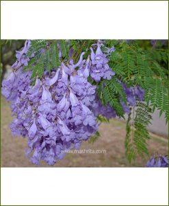 NeelMohar - Blue Jacaranda (Jacaranda Mimosifolia)