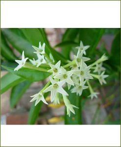 Night Blooming Jasmine (Raat Rani)_Mashrita_Online-Nursery