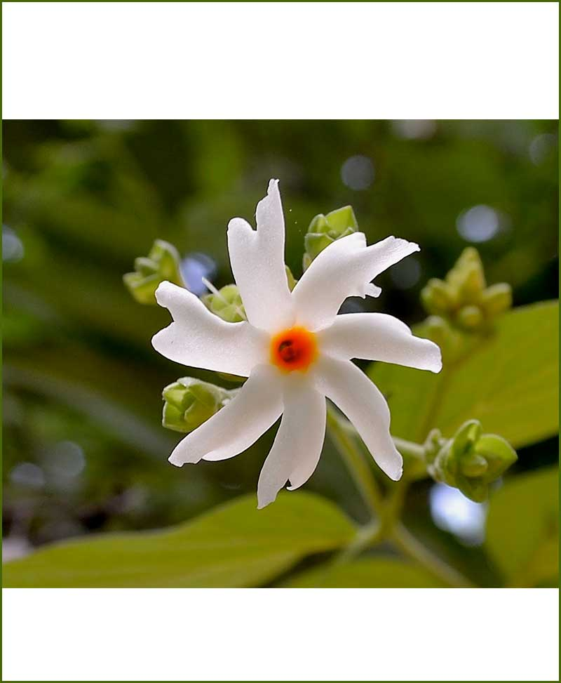 Night Jasmine (Parijat, Parijatak, Harsingar)_Mashrita_Online-Nursery