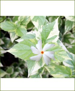 Night Jasmine Variegated (Parijat, Parijatak, Harsingar)
