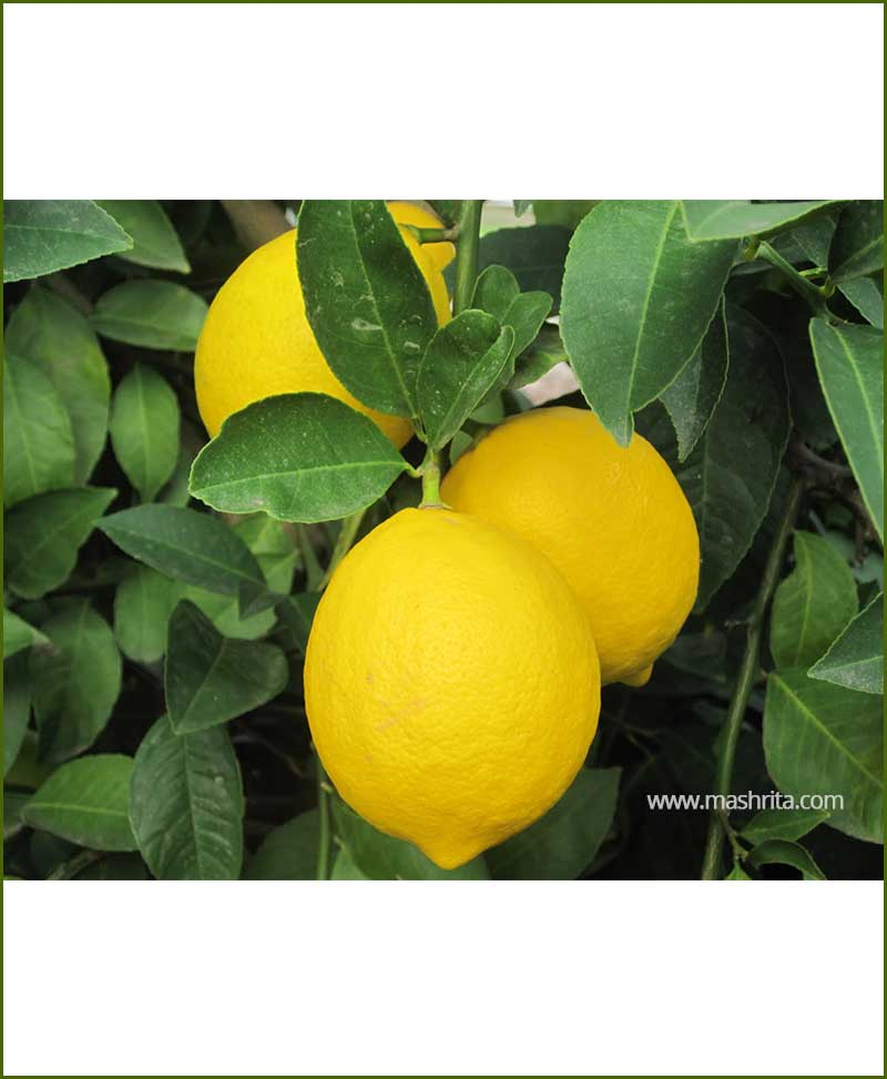 Nimboo Lemon (HT Lime) Small