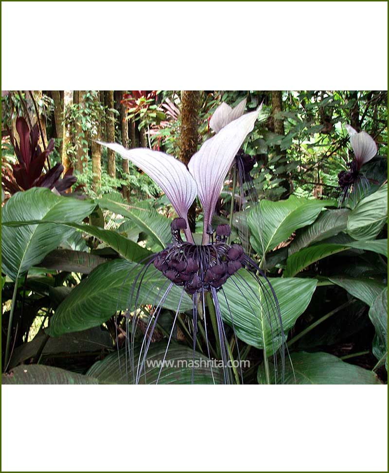 Orchid Tacca Cristata_Mashrita_Nature_Cloud
