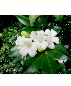 Orange Jasmine (Murraya Exotica, Andhra Kamini)