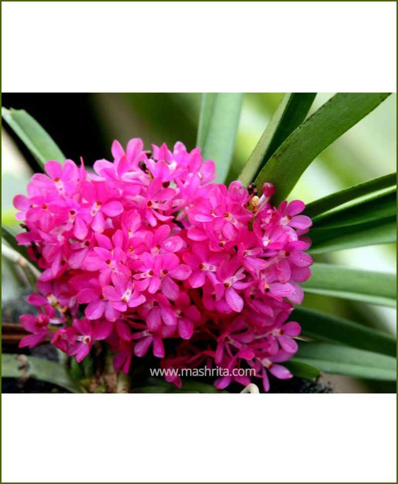 Orchid-Ascocentrum-Ampullaceum_Mashrita_Nature_Cloud