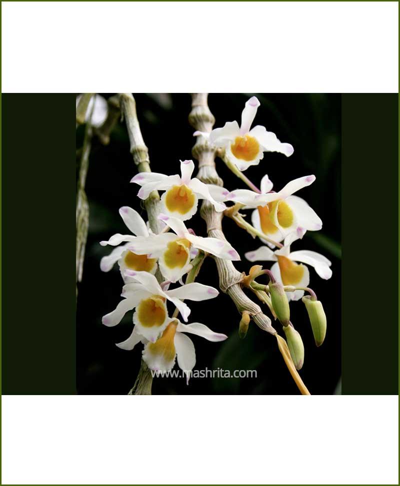 Orchid Dendrobium Amoeanum
