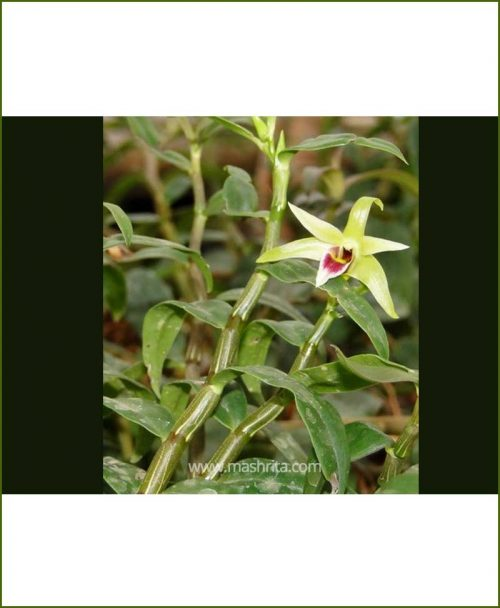 Orchid-Dendrobium-Candidum_Mashrita_Nature_Cloud