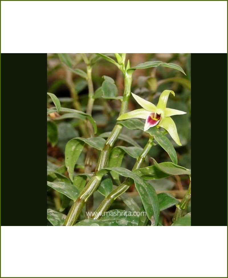 Orchid-Dendrobium-Candidum_Mashrita_Nature_Cloud