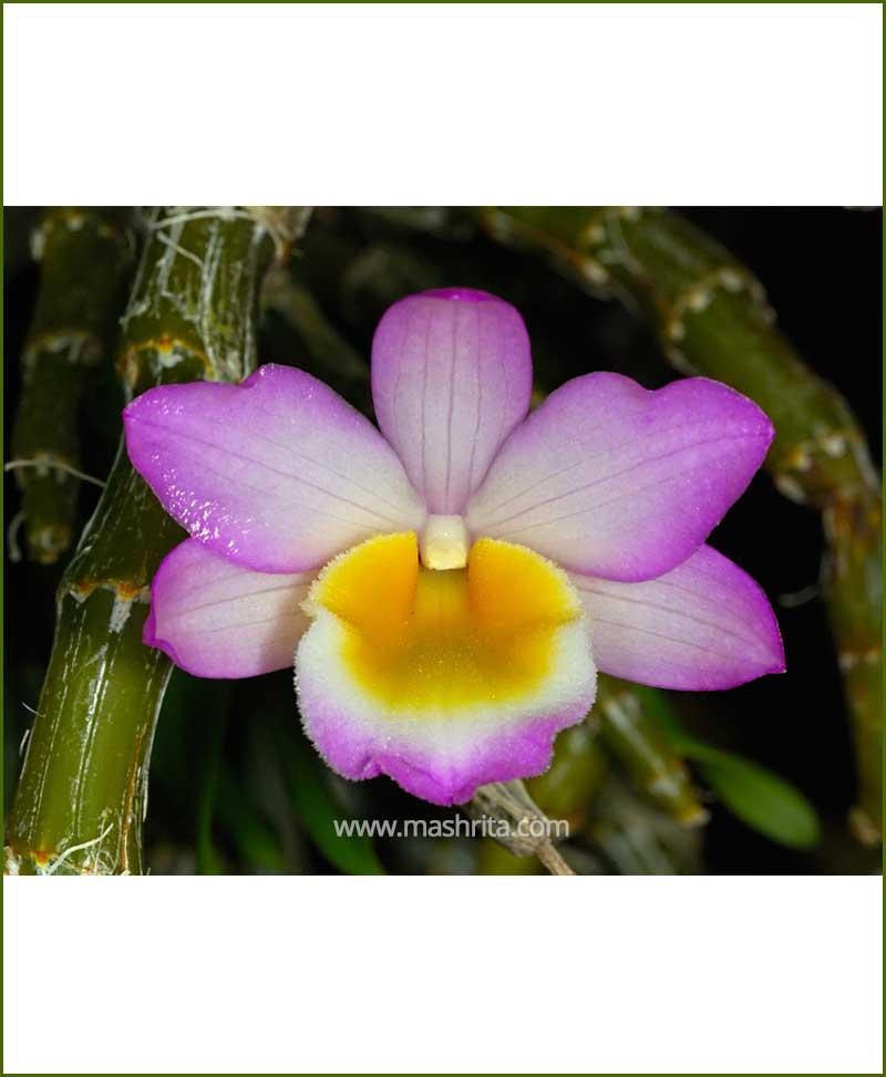 Orchid-Dendrobium-Crepidatum_Mashrita_Nature_Cloud