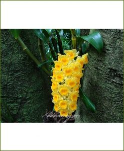 Orchid-Dendrobium-Densiflorum_Mashrita_Nature_Cloud