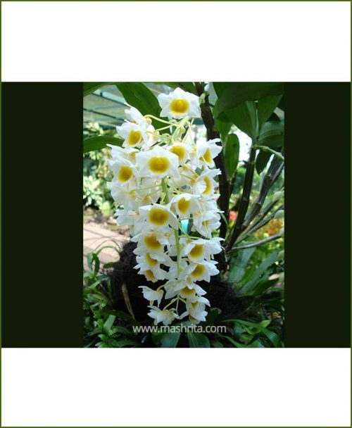 Orchid-Dendrobium-Farmeri_Mashrita_Nature_Cloud