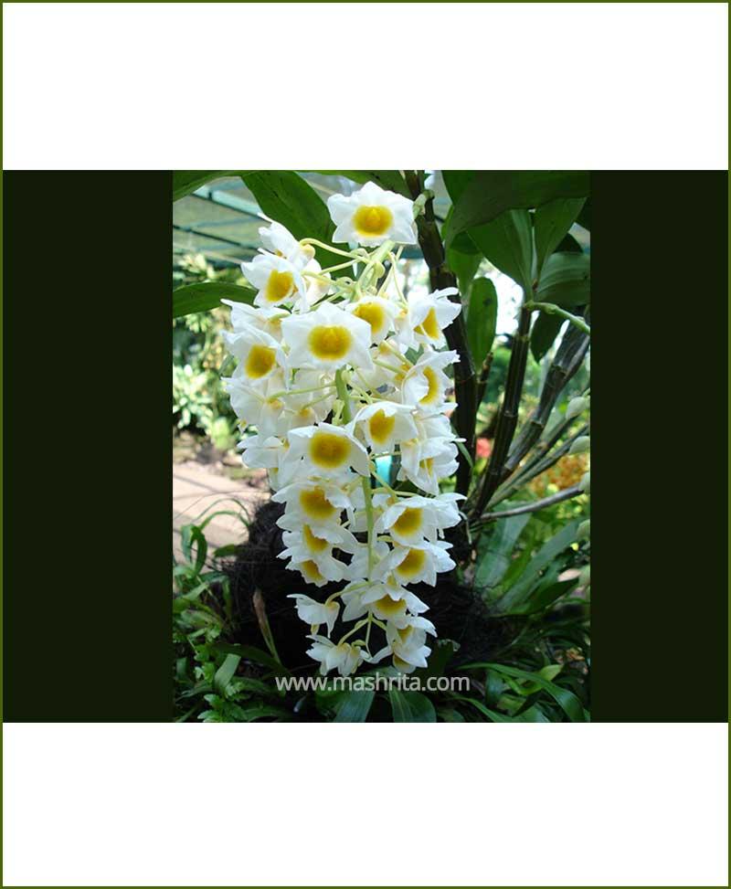 Orchid-Dendrobium-Farmeri_Mashrita_Nature_Cloud