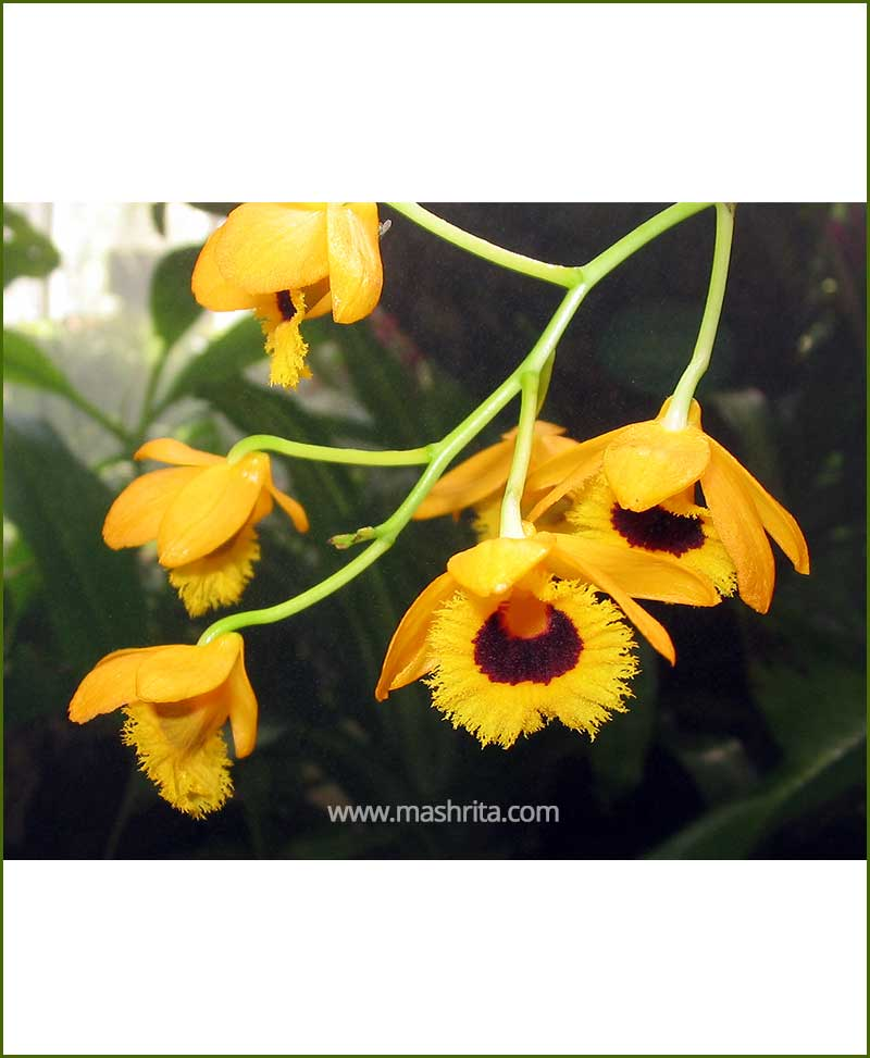 Orchid-Dendrobium-Fimbriatum_Mashrita_Nature_Cloud