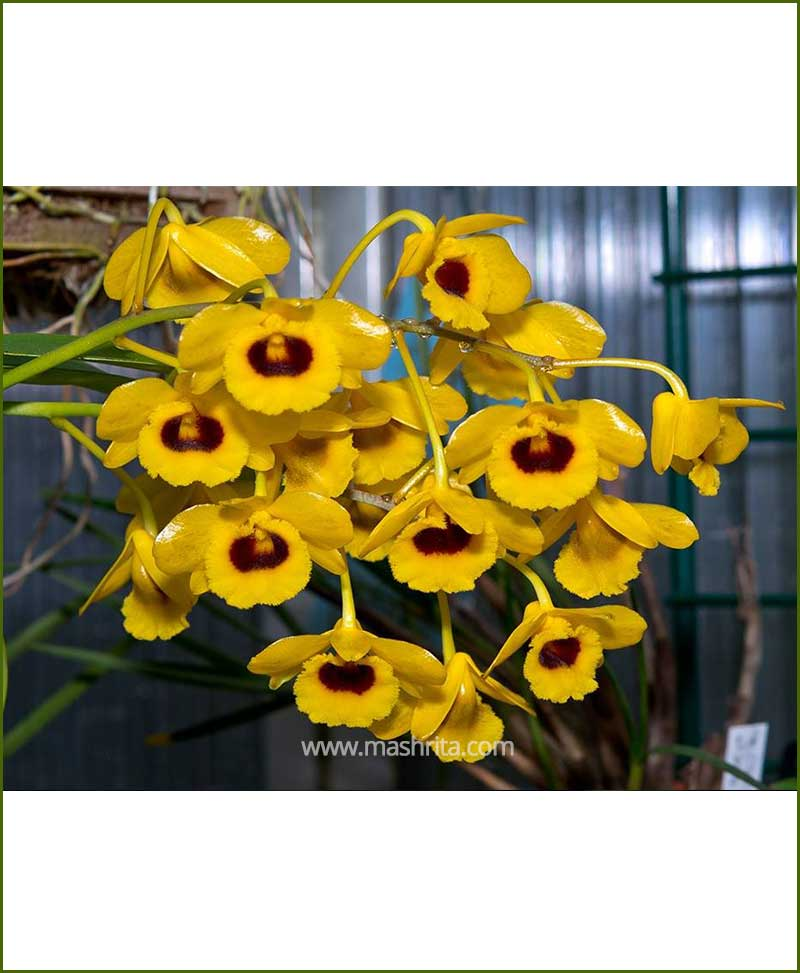 Orchid-Dendrobium-Gibsonii_Mashrita_Nature_Cloud