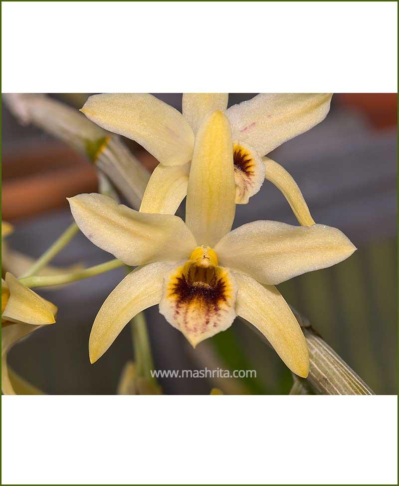Orchid-Dendrobium-Heterocarpum_Mashrita_Nature_Cloud