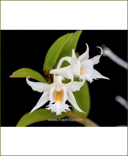 Orchid-Dendrobium-Longicornu_Mashrita_Nature_Cloud
