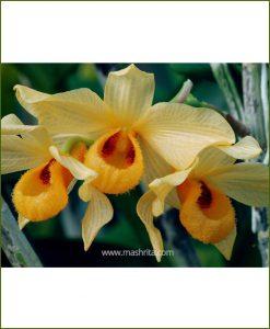 Orchid-Dendrobium-Moschatum_Mashrita_Nature_Cloud