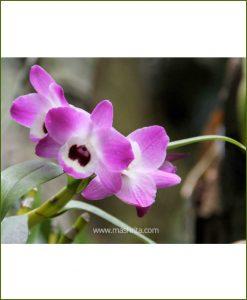 Orchid-Dendrobium-Nobile_Mashrita_Nature_Cloud