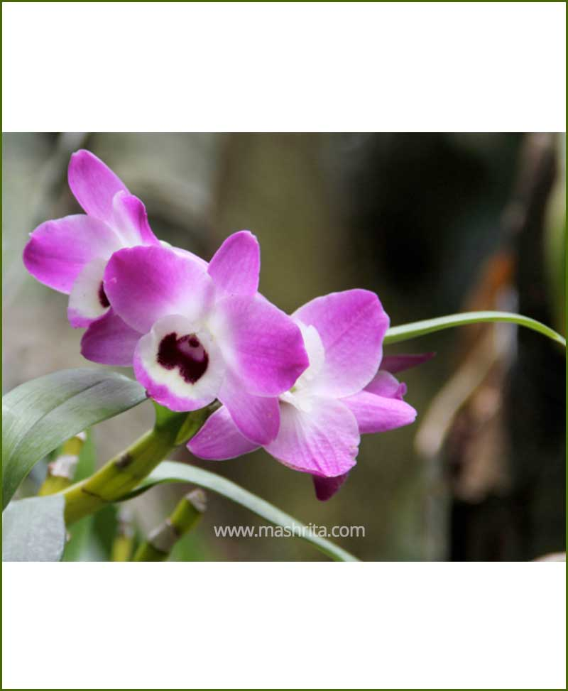 Orchid-Dendrobium-Nobile_Mashrita_Nature_Cloud