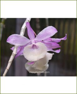 Orchid-Dendrobium-Pierardii_Mashrita_Nature_Cloud