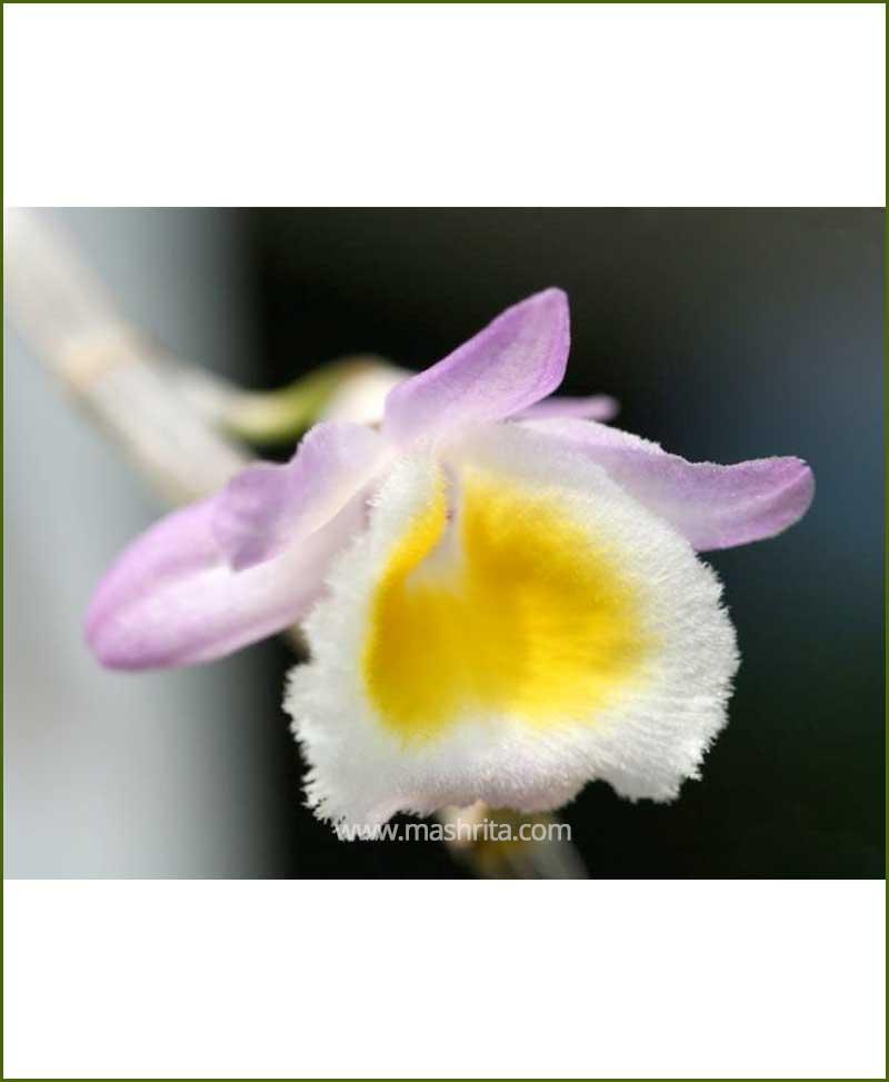 Orchid-Dendrobium-Primulianumi_Mashrita_Nature_Cloud