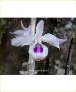 Orchid-Dendrobium-Transparens_Mashrita_Nature_Cloud