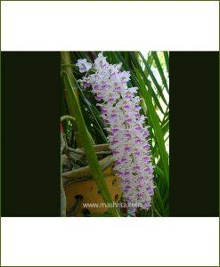 Orchid-Rhyncostylis-Retusa_Mashrita_Nature_Cloud