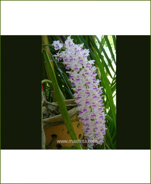 Orchid-Rhyncostylis-Retusa_Mashrita_Nature_Cloud