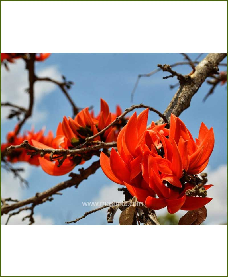 Palash - Flame Tree (Butea Monosperma)