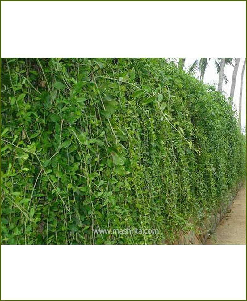 Parda Bel (Curtain Creeper - Vernonia Creeper)