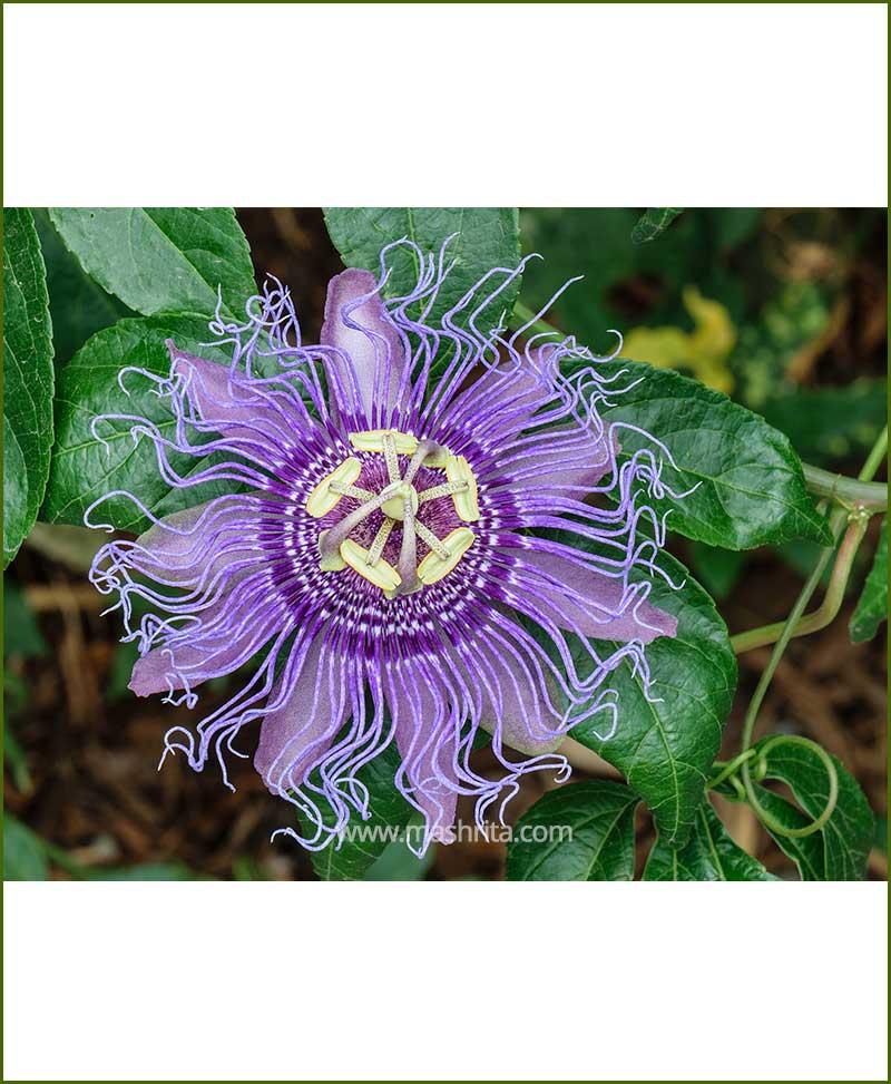 Passiflora Incarnata (Krishana Kamal)