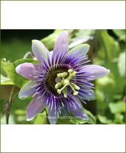 Passiflora Sherry - Krishna Kamal - (Passion Flower Vine)