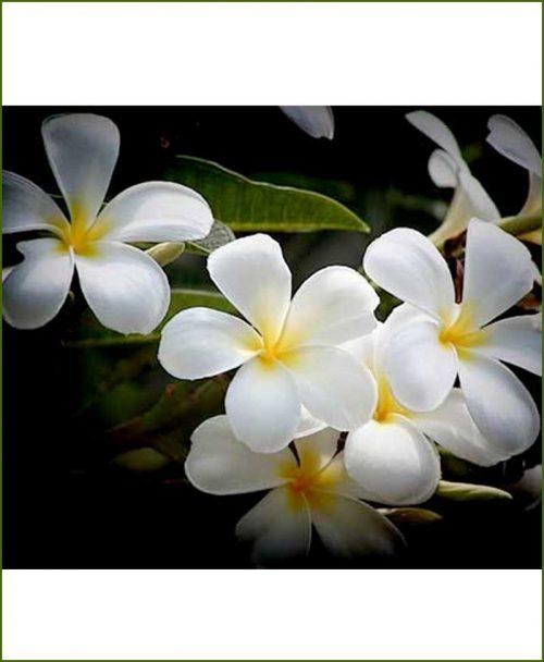 Plumeria-American-Dwarf-(Champa)_Mashriat_Online-Nursery