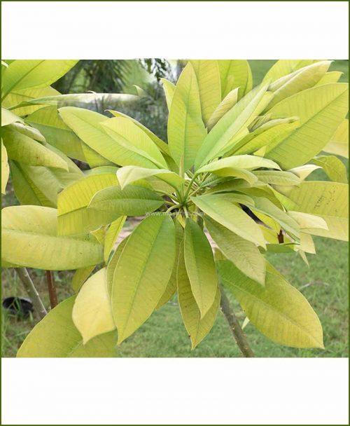 Plumeria-Gold-(Rarest-Champa)