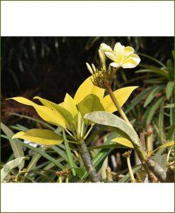 Plumeria-Gold-(Rarest-Champa)_Mashriat_Online-Nursery