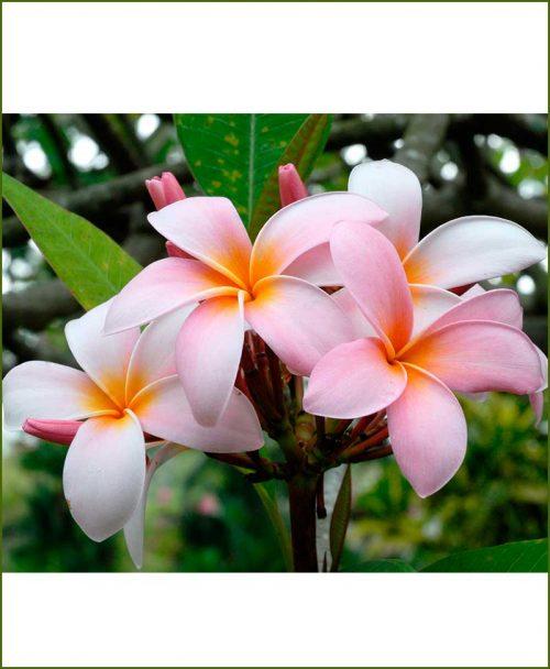 Plumeria-Pink-(Champa)_Mashriat_Online-Nursery