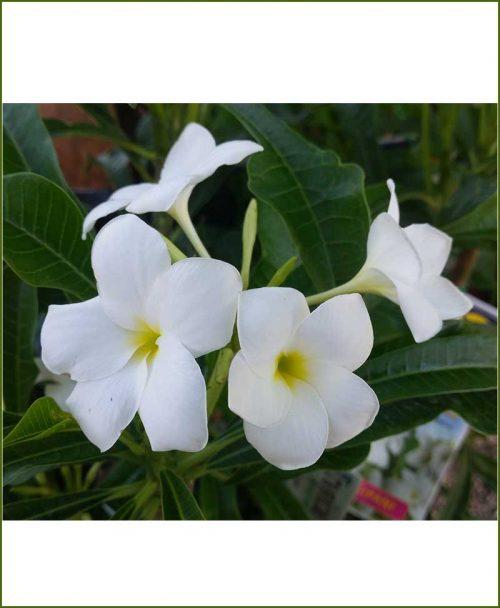 Plumeria-Pudica-(Nag-Champa)_Mashriat_Online-Nursery